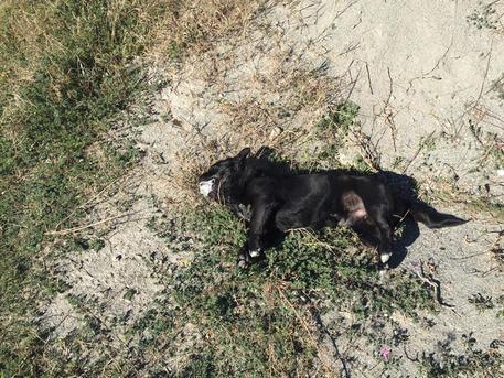 Avvelenati otto cani su spiaggia Gizzeria